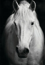 White Horse'S Black And White Art Portrait Poster Print, 13x19
