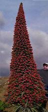 Roter Riesen-Natternkopf / Ein Blühwunder aus dem Blumentopf / Samen