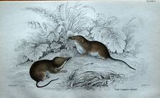 COMMON SHREW Sorex Araneus Jardines Orig Hand Coloured Antique Mammal Print 1838