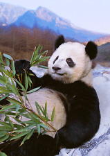 3D Postcard Lenticular - Giant Chinese Panda relaxing - Greeting Card
