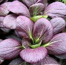 200 Seeds Purple Pak Choi Cabbage Seeds Pagoda Purple BULK SEEDS