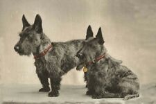 Scottish Terrier Dogs Vintage Photo 1942  LARGE New Blank Note Cards