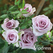 Noble Light Purple Rose Seed Flowers 60 Seeds Bonsai Plant Garden Home Free Ship