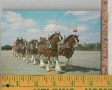 1970s  USED POST CARD BUDWEISER CLYDESDALE HORSES BUSCH GARDENS, TAMPA, FL