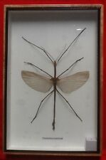REAL BIG MALE STICK INSECT PHASMATIDAE DISPLAY TAXIDERMY TIRACHOIDEA WESTWOODI