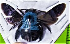 Large Blue Carpenter Bee Xylocopa caerulea Female FAST FROM USA
