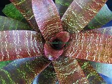 "Vriesea fosteriana 'Red Chestnut' - GREAT COLOR ~Very Large Plant From 8"" Pot~"