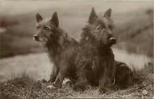 SCOTTISH TERRIER PAIR REAL PHOTOGRAPHIC DOG POSTCARD