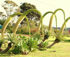 AGAVE ATTENUATA spineless agaves succulent plant seed rare aloe gardens 50 SEEDS