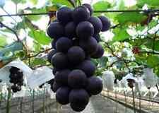 50 seeds GIANT Kyoho Grape Seeds Rare Deep Purple Sweet