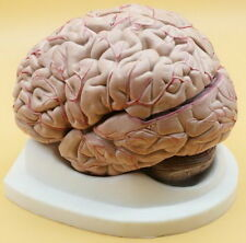 New Life Size Medical Anatomical Human Brain Model Medical Teaching Model ECJ