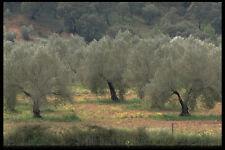 477038 campo di olivi in prossimità di Siviglia Andalusia A4 FOTO STAMPA