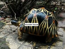 Life Size Large Radiated Tortoise Turtle Replica Model Figurine normal 19cm