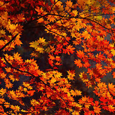 Northern RED Maple Tree SEEDS Acer Saccharum Home Garden Farm Plant