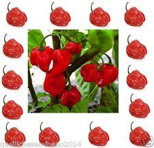 30semi puri di habanero red,rosso,peroncino piccante,lanterna,capsiqum chinense