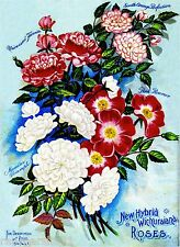 Wichuraiana Roses Vintage Flowers Seed Packet Catalogue Advertisement Poster