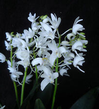 Dendrobium kingianum 'Crystal', orchid species