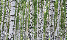 "Birches Birch Tree Wallpaper Wall Mural 13' 8"" x 8' 3"""