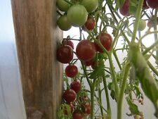 100 Tomato Seeds Chocolate Cherry Tomato Seeds Garden Seeds