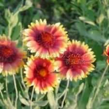 400 Blanketflower Seeds Easiest Flowers to Grow From Seed In Your Garden