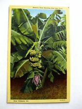 Vintage Linen Postcard of Banana Tree in New Orleans LA