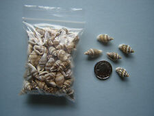 100 SMALL TINY NASSA SEASHELLS Sea Shells Craft Beach Fish Tank Tropical