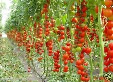 Tomato Seeds Tsifomandra (tree tomato) Vegetable Seeds. 25 SEEDS