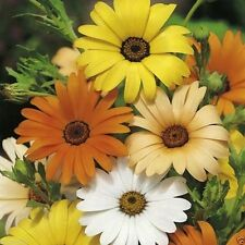 1000 African Daisy Seeds - Mix (Dimorphotheca Aurantiaca Mix) Cape Marigold