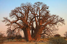 African Baobab or Boab (Adansonia digitata) - 12 Seeds Bonsai or Feature