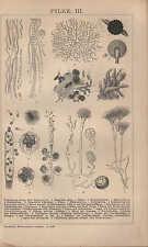 Lithografie 1903: PILZE. III/IV. Schizomyceten oder Bakterien Schwämme Sporen