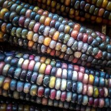 Certified Organic Glass Gem Corn Seeds (~50): Non-GMO Heirloom Seed Packet