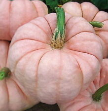 Porcelain Doll PINK PUMPKIN Seeds – Seriously! – Fun Plant –  NO GMO – Kids LღVe