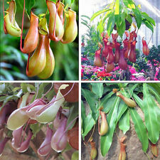 20PCS Lots Pitcher Plant Seeds Purpurea Foliage Carnivorous Shades Flower Garden