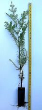 "Coast Redwood Tree 30 - 40"" Tall - Landscape Tree Screen - Sequoia Sempervirens"