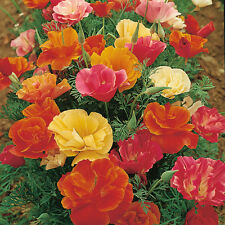 CALIFORNIAN POPPY ESCHSCHOLZIA MIXED 100 FINEST UK SEEDS