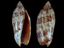 Amoria damoni - Shells from all over the World