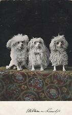 Three White Fluffy POODLE (?) Dogs DOG Postcard
