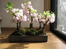 12 Japanese Flowering Cherry Seed Imported Prunus Serrulata Bonsai - Landscape