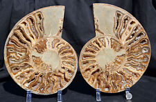 "RARE New Find Margarite Daisy PAIR Ammonite XLARGE 10"" HUGE Fossil 258mm 6147x"