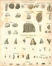 1802  Plants In Stone Corals And Fishes Teeth Copperplate