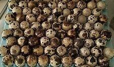 30+ JamesMarie MeatMaker XL. JUMBO brown coturnix quail hatching eggs,