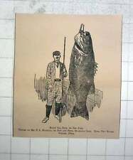1902 Black Sea Bass Or Jew Fish Caught By Mr Ts Manning, 370 Lbs