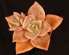 GRAPTOVERIA Albert Baynes grandes colores suculenta