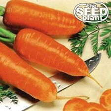 Chantenay Red Core Carrot Seeds - 250 SEEDS-SAME DAY SHIPPING