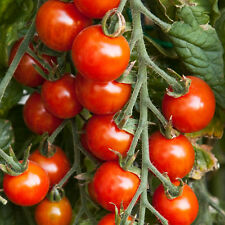 Vegetable Seed - CHERRY TOMATO RED - High Yeilding Hybrid Seed -Pack of 30 Seeds