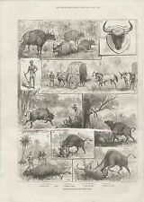 1887 LA CACCIA gaour o INDIAN BISON