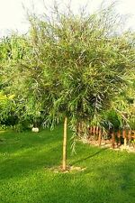 Argentea Bamboo Willow Tree -130 cm tall grafted seedling - in the pot