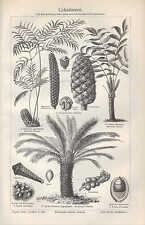 Lithografie 1905: Cykadazeen. Sago-Palme Palmen Bowenia spectabilis Zamia Skinne