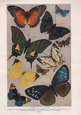 1911 NATURAL HISTORY DOUBLE SIDED PRINT ~ BUTTERFLIES / BEETLES IN A FLOOD