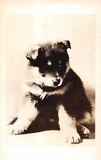 Close Up Of A Sitting Husky? Puppy Real Photo Postcard V20284
